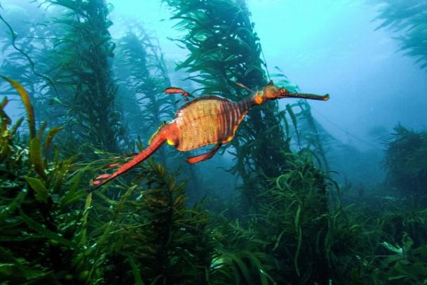 BLUE - Seahorse (1)